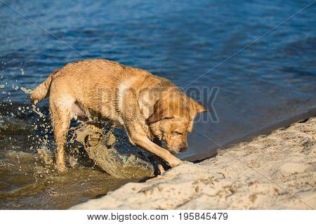 Labrador retriever dog on beach. Dog on the sand near the river Red Retriever digging pit