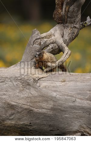 a baby marmot sits on an old downed tree