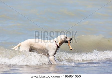 dog playing in the water with a stick in his mouth at Pinery Provincial park in Grand Bend Ontario Canada
