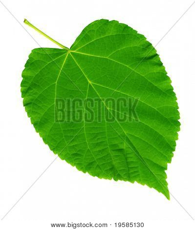 HIGH RESOLUTION green summer leaf manually isolated on white background