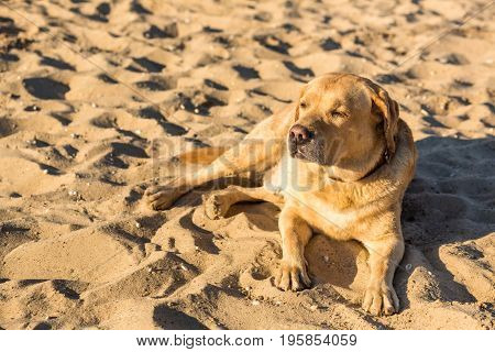 Labrador retriever dog on beach. A red labrador lies on the sand