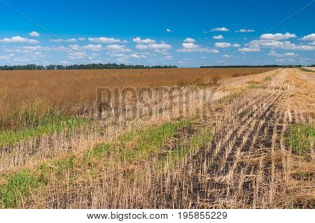 August landscape with blue sky and ripe rape-seed field located in central Ukraine