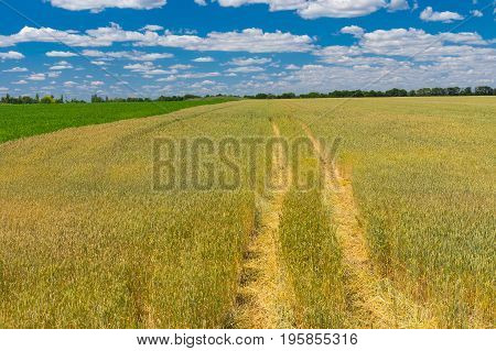 Summer landscape with blue cloudy sky wheat field and track inside central Ukraine