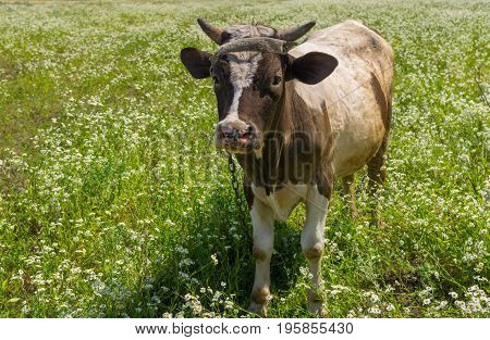 Cute Ukrainian bull-calf chained on summer erigeron annuus flower field