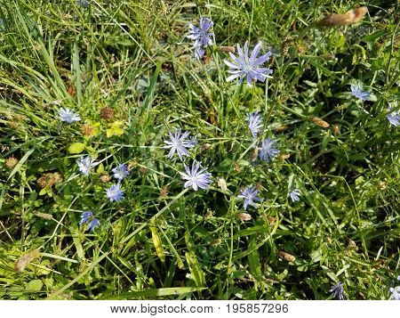 small blue or violet wild flower and green leaves