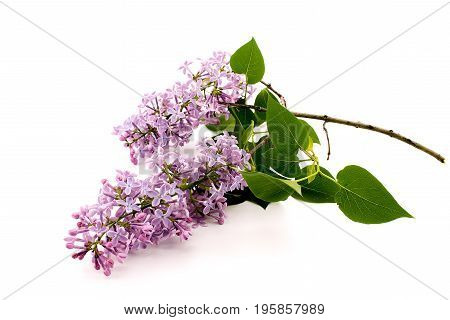 Branch Of Lilac Isolated