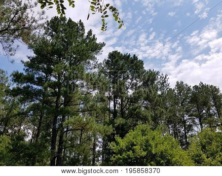several tall green trees and a blue and cloudy sky