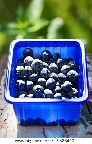 Blueberries in blue container in the garden