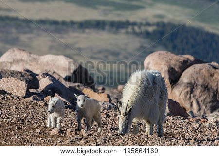 a nanny mountain goat with her cute kids