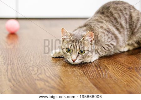 Striped cat lying on the floor in the room. The concept of pets.