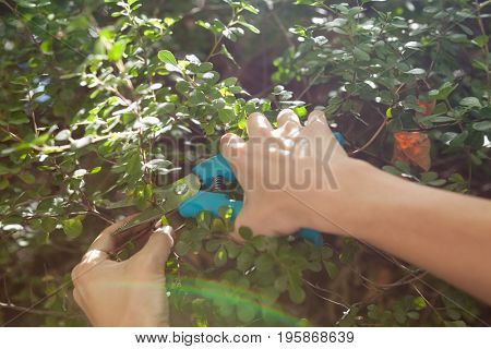 Cropped hands of woman cutting plants with pruning shears at backyard