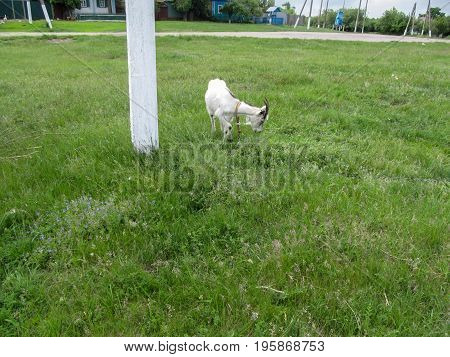 The white horned goat eats grass in a clearing among the village. Lawn with juicy young green grass goat in the collar and rural street in the background
