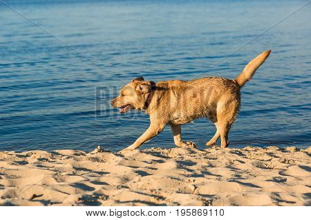 Labrador retriever on the beach. Red Labrador Runs On The Sand