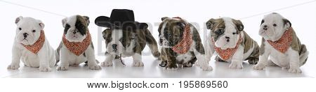 litter of six bulldog puppies that are seven weeks old on white background