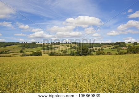 Yorkshire Wolds Oats