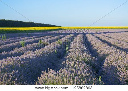 Summer landscape with lavender and sunflowers fields, recorded in Bulgaria
