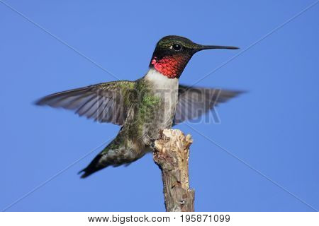 Ruby-throated Hummingbird (archilochus colubris) on a perch