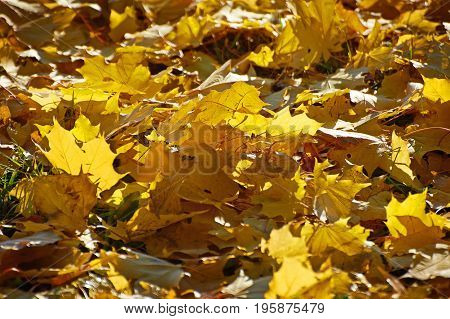 Yellow maple leaves on the ground in autumn