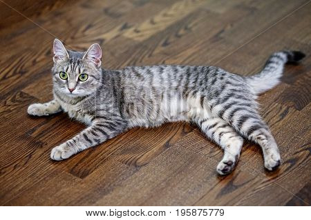 Gray striped cat lying on the laminate. The concept of pets.