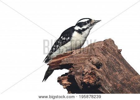 Downy Woodpecker (Picoides pubescens) on a branch isolated with a white background
