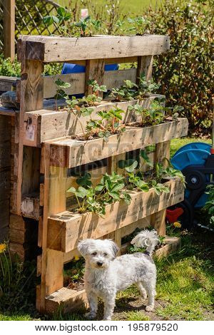 Upcycling of wooden pallets - flower boxes with strawberries