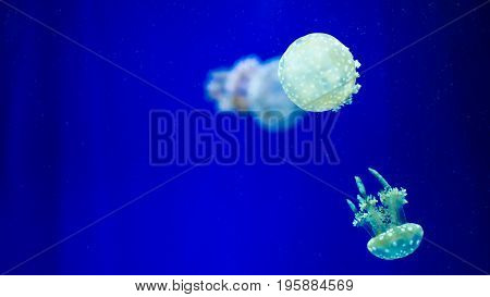 A glowing blue jellyfish against a deep blue background.