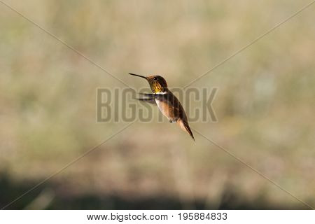 Claire Rufous Hummingbird with copper colors shining in the sunlight in the Rocky Mountains