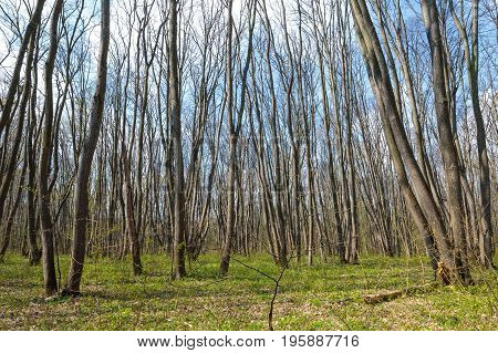 Young hornbeam forest landscape in the spring