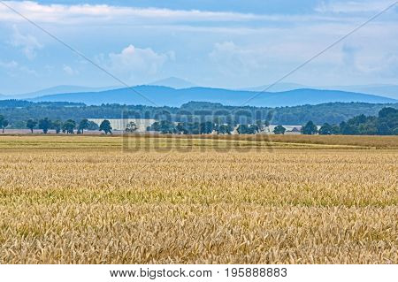 Farmland. Ripe yellow corn grows on it. In the distance you can see growing deciduous trees. On the line of the horizon you can see misty hills. It's daytime. The sky is overcast.