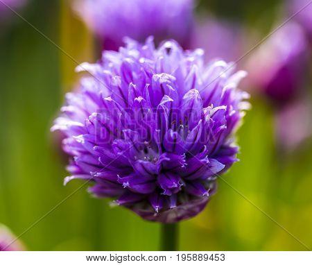 Close up of a garlic flower in a garden