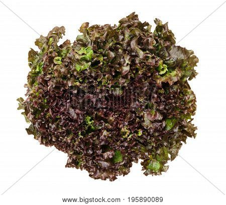 Batavia Red lettuce from above over white. Also summer or French crisp. Loose-leaf lettuce. Reddish green salad head with crinkled leafs and wavy leaf margin. Variety of Lactuca sativa. Closeup photo.