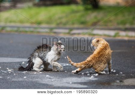 Street aggressive cats are fighting on the street. Aggressive cats in city. Aggressive cats in the spring. Orange and white gray wet cats are fighting on the road. Aggressive animals