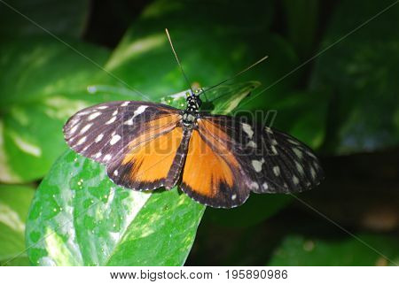 Zuleika butterflies also known as tiger longwings with his wings wide open.
