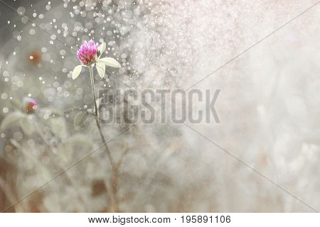 Violet clover with dew. Beautiful summer field flower in the rain on a dark background. Natural abstract photo of flower. Bokeh from the rain flower. Beautiful summer flower. Spring fresh flower. Flower against the background of summer nature