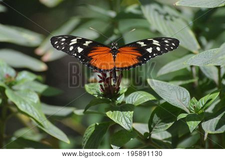 Amazing look at a zuleika butterfly sitting on a green leaf.