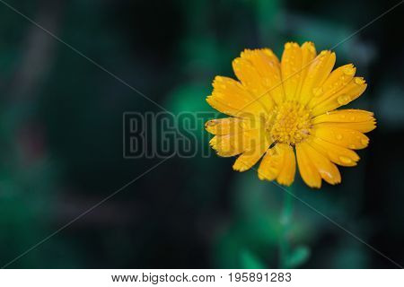 Yellow summer flower with drops of water on a dark green background in a flowerbed. Greeting card with flower. Beautiful natural flower template. Beautiful summer flower. Spring fresh flower. Flower against the background of summer nature
