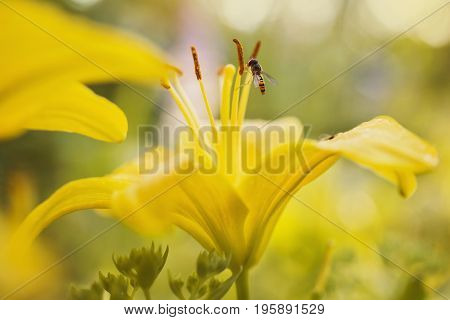 An orange fly sits on a yellow lily in a flower bed. Greeting card with flower. Beautiful natural flower template. Beautiful summer flower. Spring fresh flower. Flower against the background of summer nature