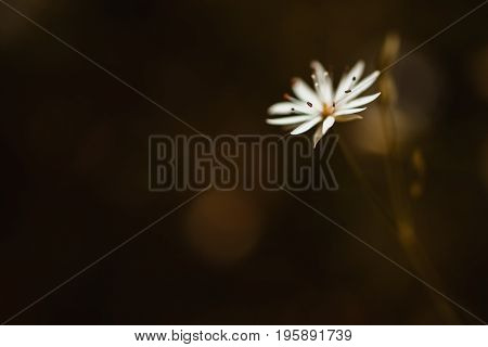 Beautiful delicate white flower on a dark background. Greeting card with flower. Beautiful natural flower template. Beautiful summer flower. Spring fresh flower. Flower against the background of summer nature