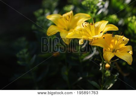 Yellow lily on the flowerbed. Beautiful summer natural background. Greeting card with flowers. Greeting card with flower. Beautiful natural flower template. Beautiful summer flower. Spring fresh flower. Flower against the background of summer nature