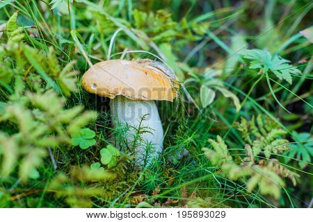 A very delicious and salubrious mushroom Porcini or Cep in moss and grass