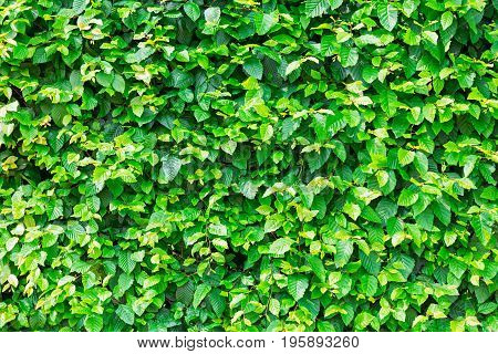 Natural green leaf hedge, foliage texture background