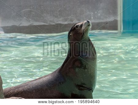 Californian Sealion resting on a rock enjoying the sun