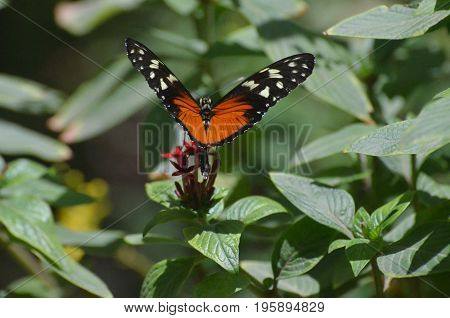 Fantastic longwing butterfly on a green leaf.