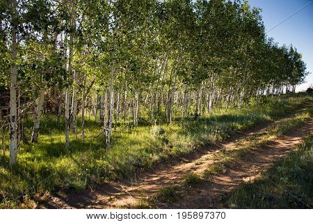 A beautiful grove of Aspen Trees on the Colorado / Wyoming state line in the Rocky Mountains