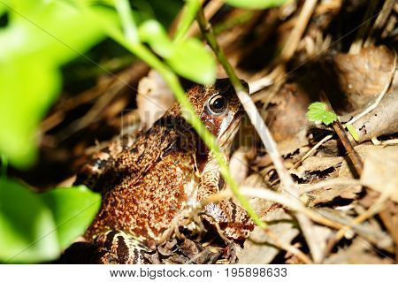 Macrophoto of spotted frogs in the grass