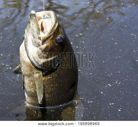 Close up of a Small Mouth bass being pulled from the water
