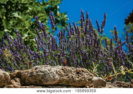 Close-up of lavender flowers under sunny blue sky in the historical village of Ménerbes. Located in the Vaucluse department, Provence-Alpes-Côte d'Azur region, in southeastern France