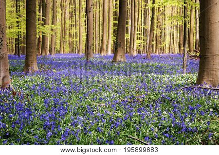 Blue Forest. The Hallerbos, also known as the Blue Forest, in Belgium where once a year the forest is covered in millions of bluebells. Ecotourism, natural conservation concept