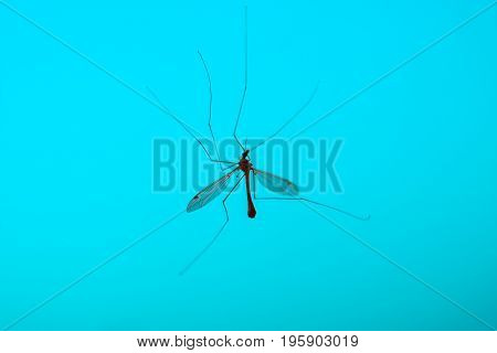 Big mosquito on blue background close up