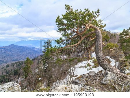 Lonely pine grows on a cliff in Adygei Russia